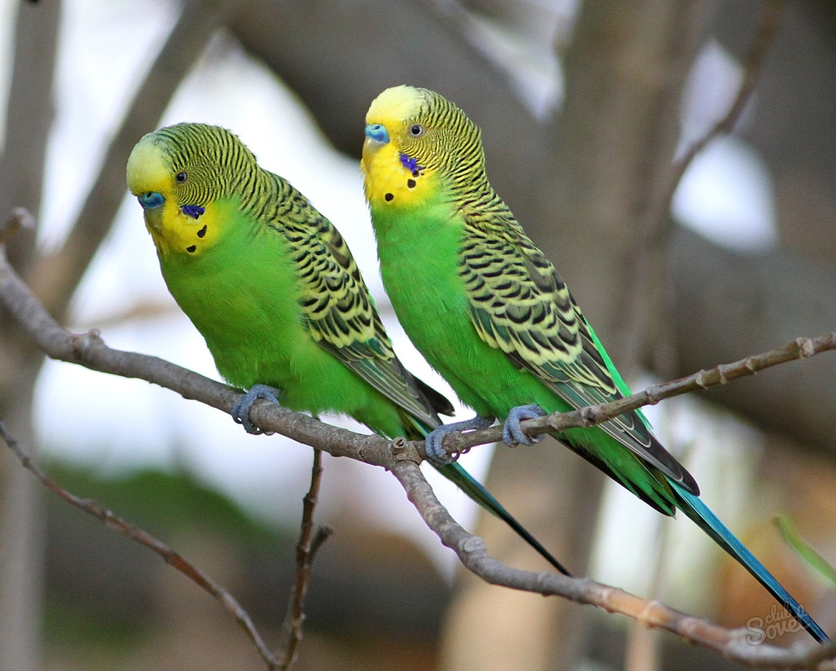Poultry. How to distinguish a wavy parrot-boy from a girl
